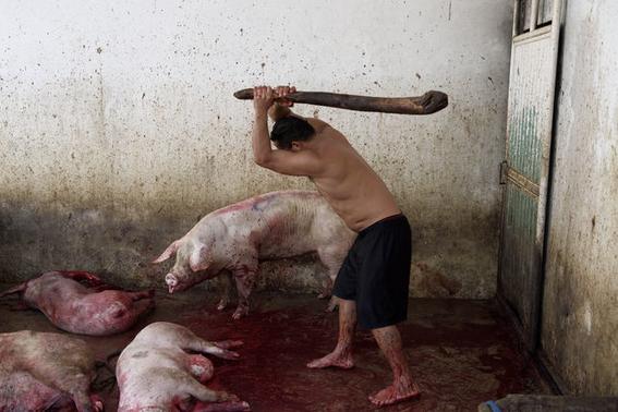 fotografias sobre la violencia en los mataderos de aitor gaarmendia 2