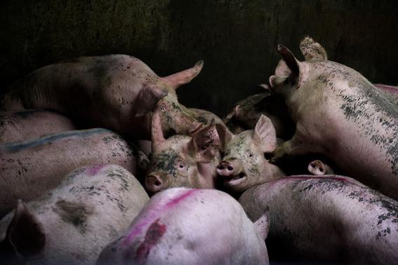 fotografias sobre la violencia en los mataderos de aitor gaarmendia 4