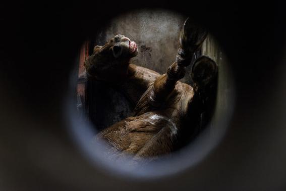 fotografias sobre la violencia en los mataderos de aitor gaarmendia 8