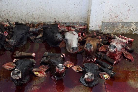 fotografias sobre la violencia en los mataderos de aitor gaarmendia 6