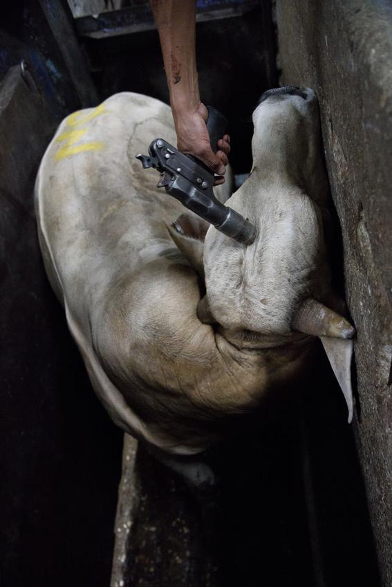 fotografias sobre la violencia en los mataderos de aitor gaarmendia 7