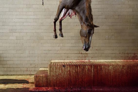fotografias sobre la violencia en los mataderos de aitor gaarmendia 9