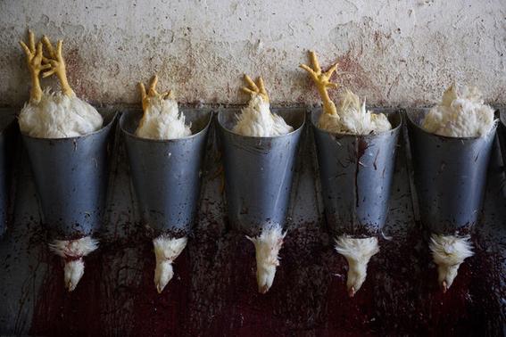 fotografias sobre la violencia en los mataderos de aitor gaarmendia 10