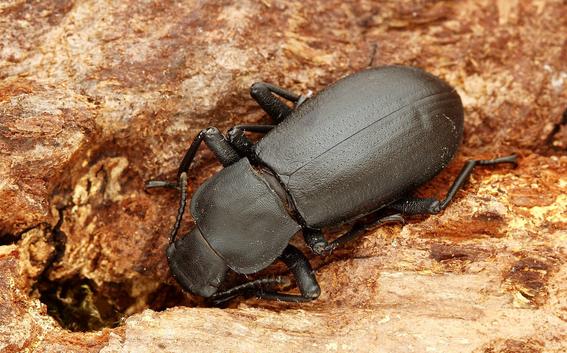 la disminucion de arboles en europa esta provocando la extincion de escarabajos 1