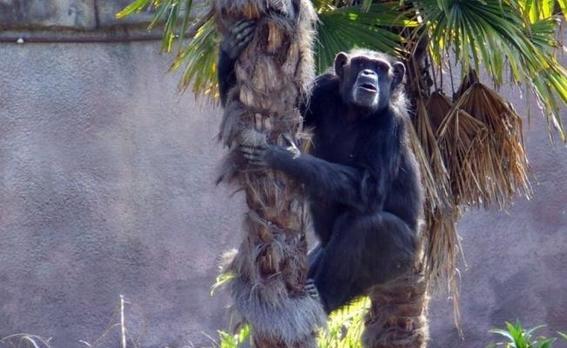 muere el chimpance tamba en zoologico de mexico 1