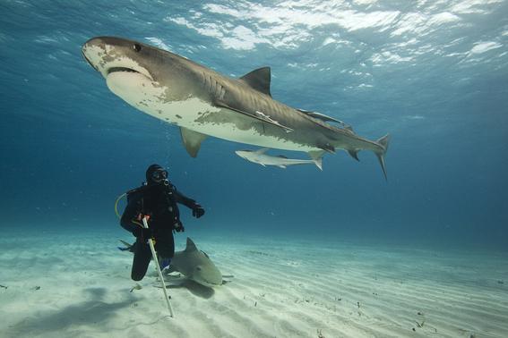 aunque son de sangre fria los tiburones prefieren lo caliente 1