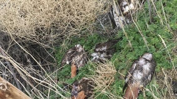 arrestan al hombre que mato a mas de 120 halcones en california 1