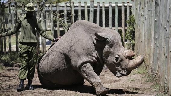 murio sudan el ultimo rinoceronte blanco del norte 1