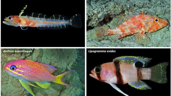 descubren especies marinas en arrecifes del mar caribe 1