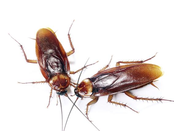 cientificos revelan porque las cucarachas son invencibles 1