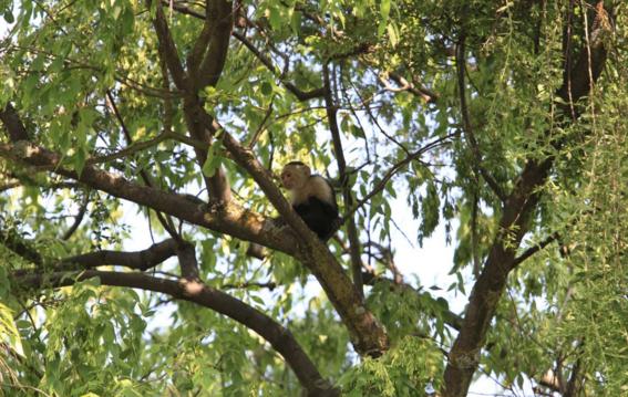mono capuchino se escapa en ciudad de mexico 1