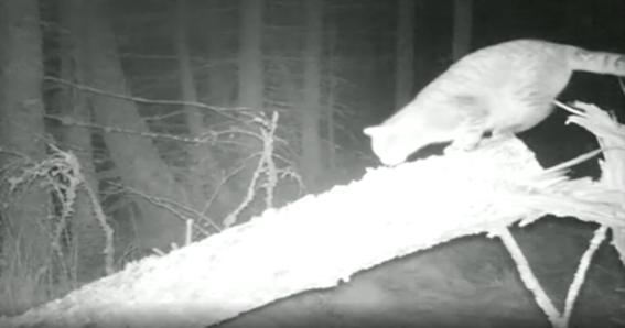 este es el gato montes salvaje mas grande que se ha visto en escocia 1