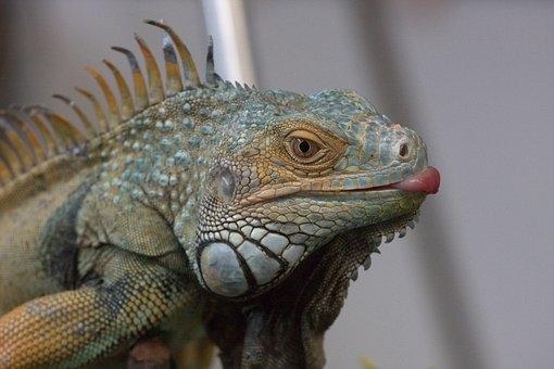 tamales oaxaqueños estan terminando con la iguana 1