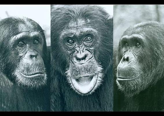 gombe la guerra de los chimpances por ambicion de poder y celos 2