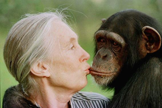 gombe la guerra de los chimpances por ambicion de poder y celos 1
