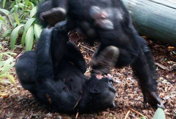 gombe la guerra de los chimpances por ambicion de poder y celos 3