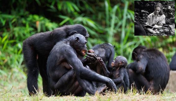 gombe la guerra de los chimpances por ambicion de poder y celos 4
