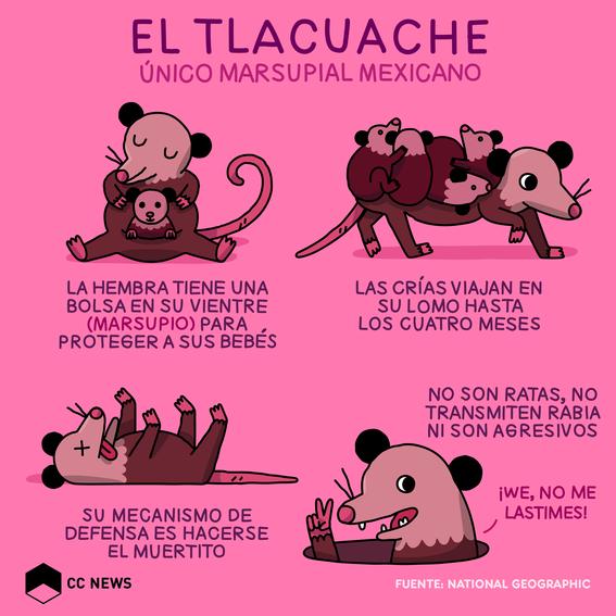 tlacuache marsupial mexicano 1