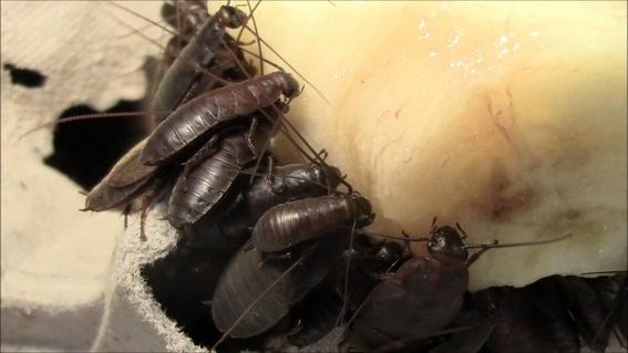 que es la leche de cucaracha 2