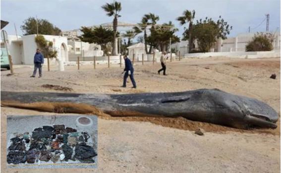 cachalote muere despues de comer 29 kilos de plastico 1