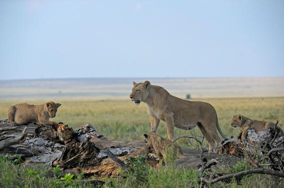asesinan a leones en un parque de uganda 1