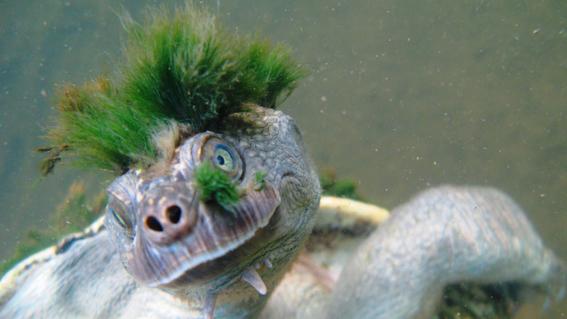 la tortuga de pelo verde esta en peligro de extincion 1
