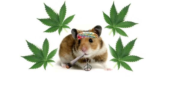 Policías argentinos culpan a ratones de comerse media tonelada de marihuana 1