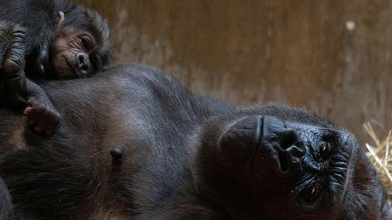 nace bebe gorila en extincion 1