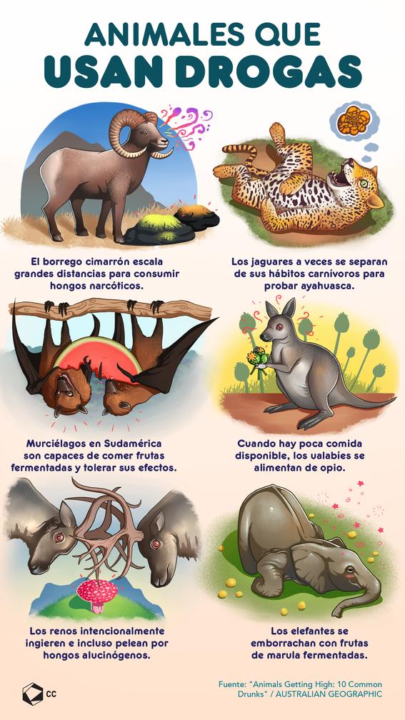 infografia de animales que usan drogas 1