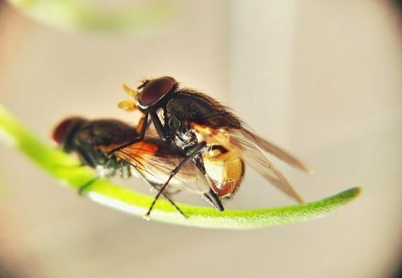 moscas eyaculan por placer 1