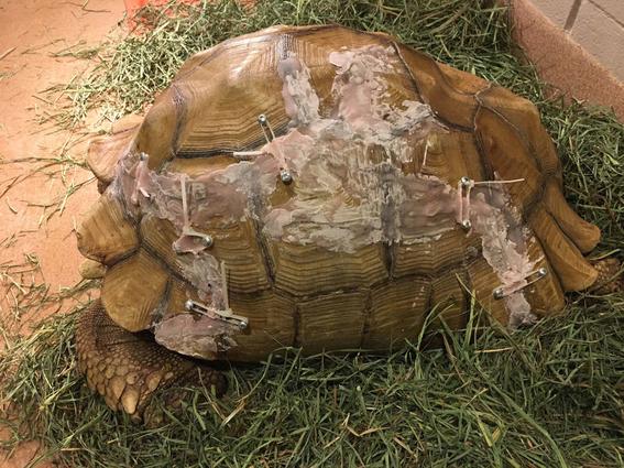 pegan caparazon de tortuga despues de una caida 1