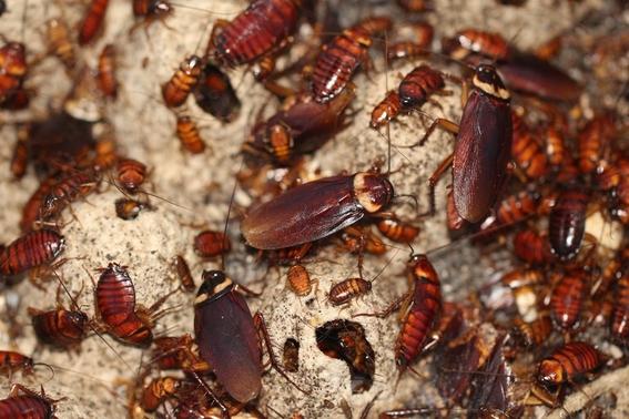 curiosidades sobre las cucarachas 1