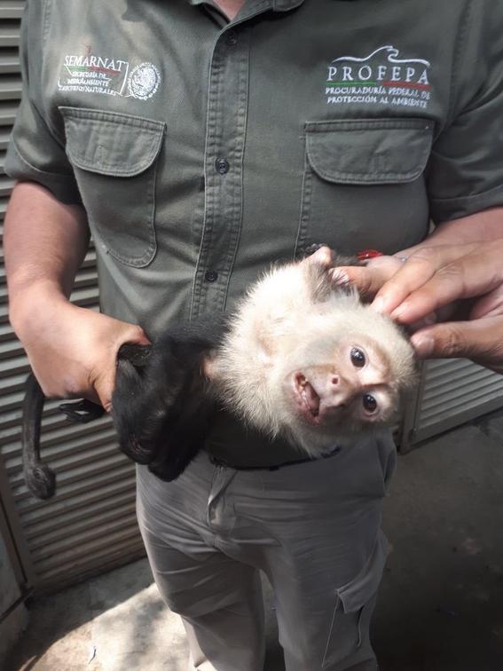 como sigue mono capuchino de reforma 1