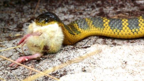 serpientes se estan quedando ciegas en australia 1