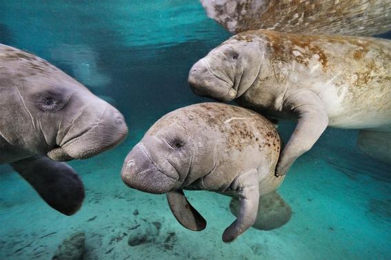 manati del caribe especie en peligro de extincion 2