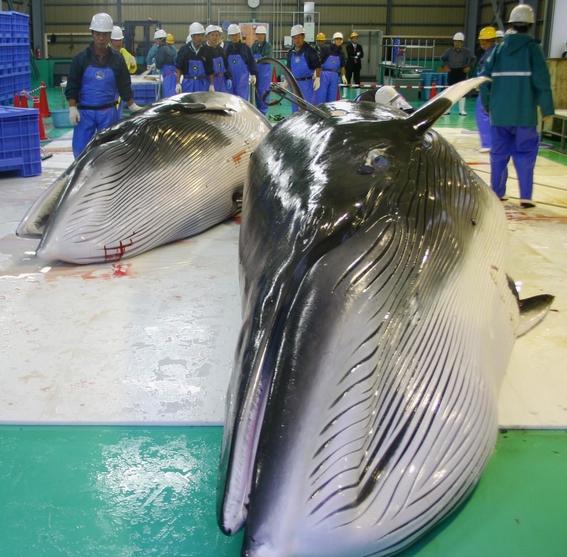 matan ballenas embarazadas en japon 2