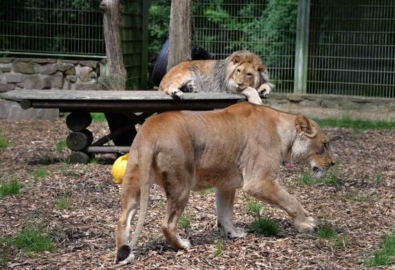 escapan cinco felinos de zoologico en alemania 1