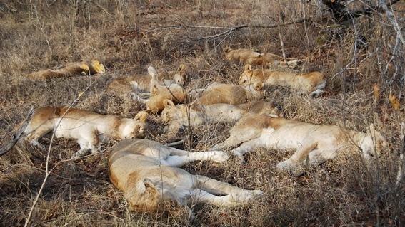 por que los leones y humanos pelean en espacios protegidos 1