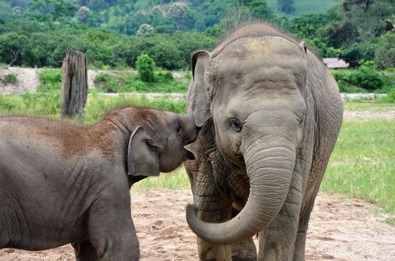 elefantes de asia en peligro 4