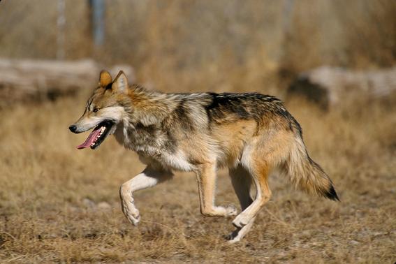 la unam da esperanza al lobo gris mexicano 1