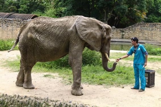 muerte de elefante venezolana provocada por hambre 1