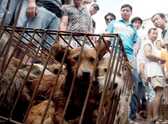 ¿por que seran masacrados 3 mil perros en china los proximos dias 4