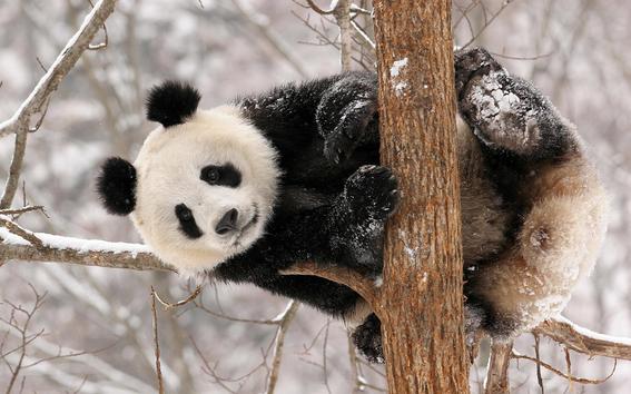 hallan restos de panda gigante de 22 mil anos 2