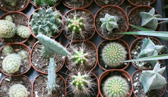 consejos para que tus cactus crezcan sanos 1