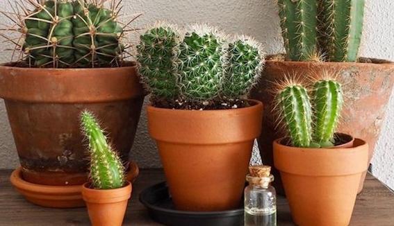 consejos para que tus cactus crezcan sanos 2
