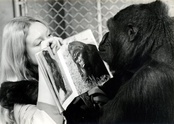 murio koko la famosa gorila que hablaba lenguaje de senas 1