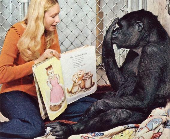 koko the gorilla 1