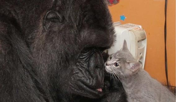 koko the gorilla 2