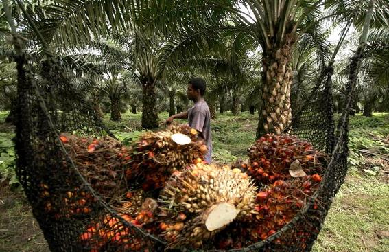aceite de palma esta matando a los orangutanes 1
