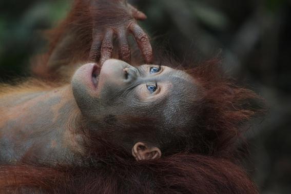 aceite de palma esta matando a los orangutanes 2